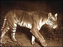 Slimmer tigress, photo by FW Champion