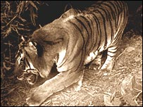 Large tiger, photo by FW Champion