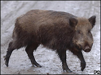 Wild boar - file photo