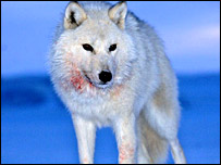 Arctic wolf (Martin Hartley)