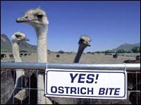 Ostrich in farm
