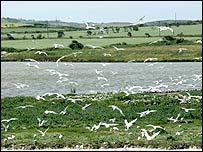 Terns at Cemlyn