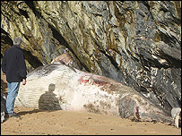 Photo of minke whale: Jan Loveridge, Cornwall Wildlife Trust's Marine Strandings Network
