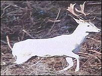 The white deer, pic by Nick Davis