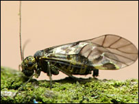Amphigerontia bifasciata barkfly (Alby Oakshott)