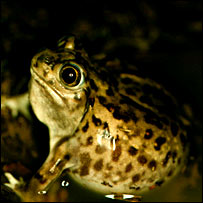 Spadefoot toad males of the species S. bombifrons
