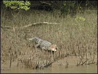 A crocodile seen from the boat, Bangladesh
