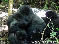 Senkwekwe, a silverback mountain gorilla (Image: WildlifeDirect)