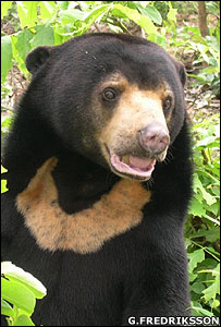 Sun bear (Image: Gabriella Fredriksson)