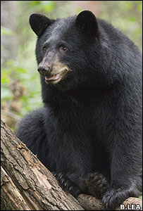 American black bear (Image: Bill Lea)