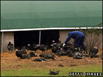 Dead turkeys at Redgrave Park Farm