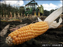 Maize lying in a field (Getty Images)