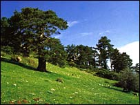 Pine trees in the Sierra de Baza. Image: Jose Carrion.