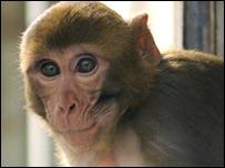 Rhesus macaque monkey.