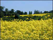 Oilseed rape (Rothamsted Research)