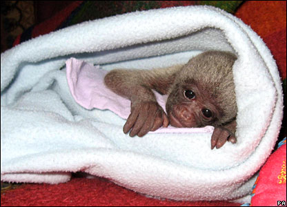Baby woolly monkey at the Monkey World rescue centre in Dorset