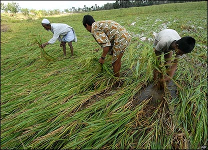 Men tend to damaged rice crops 17 November 2007