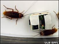 Roboto-racha y las cucarachas reales (FOTO ULB)