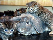 rabbit with kittens