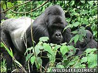 Silverback Kabirizi (Image:WildlifeDirect)