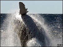 An adult humpback whale breaching