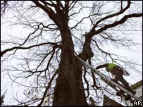 A tree expert examines Anne Frank's chestnut tree in Amsterdam