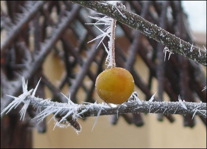 Jeanne B Peterson sent this picture of an apple in the November frost in Howey, Powys.