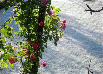 This view of roses escaping the overnight ground frost below was taken by Gwyn Roberts in Glyn Ceiriog.