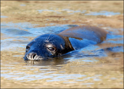 This young seal was spotted on Broadhaven beach in Pembrokeshire by Andy Wood.