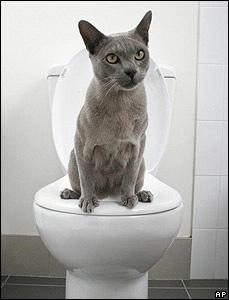 Doogie the Burmese cat on the toilet