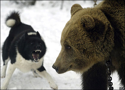 A dog barks at a bear in Belarus