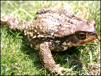 Common toad (Image: Matthew Fisher, Imperial College)
