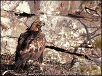 Golden eagle on nest. Picture courtesy of RSPB