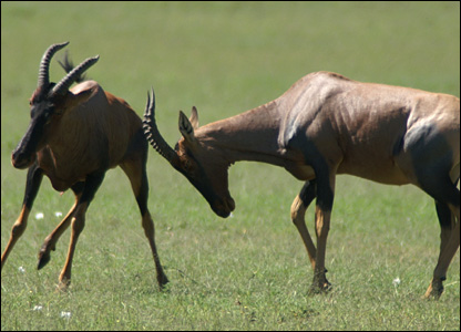 Female topi attacking a male (Jakob Bro-Jorgensen)