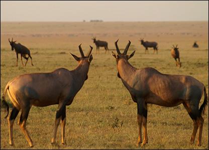 Topi antelope herd (Jakob Bro-Jorgensen)