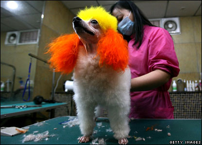 Pet beautician grooms a poodle during training class at pet grooming school, Chongqing, China