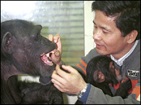 Dr Matsuzawa and chimps (Image: Matsuzawa)