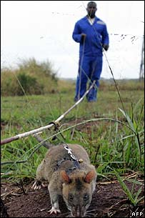 Rat searching for landmines in Mozambique [file photo - 2005]