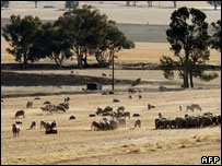 Sheep feed on a dry paddock near Grenfell in the central west of New South Wales , 12th Nov