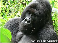 Silverback Kabirizi (Image: WildlifeDirect)