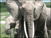 Elephants can identify individuals from the scent of urine