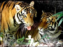 Two South China tigers in a reserve in Fujian Province, China (File photo)