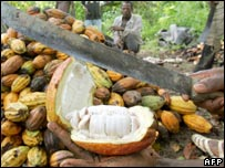 Farmer cuts open ripe cocoa pod