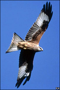 A red kite. Picture issued by RSPB/PA
