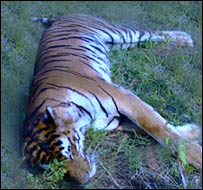 Dead royal Bengal tiger
