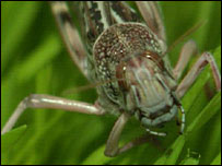 A locust (Copyright: VT Freeze Frame)