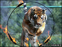 Tiger jumps through flaming hoop