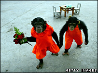Chimps in a Chinese circus