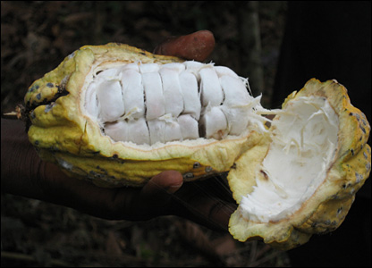 A farmer in Ghana opens a cocoa pod revealing gooey white seeds (Photo by BBC News website reader Alexis Chapman)
