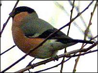 Bullfinch (generic)